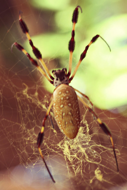 260.365 {Huge Banana Spider - like as big as my hand}