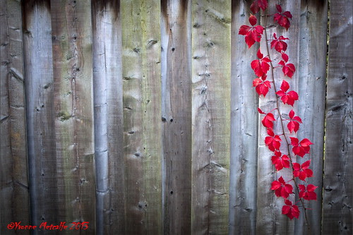 Single Red Autumn Vine by Yvonne Metcalfe