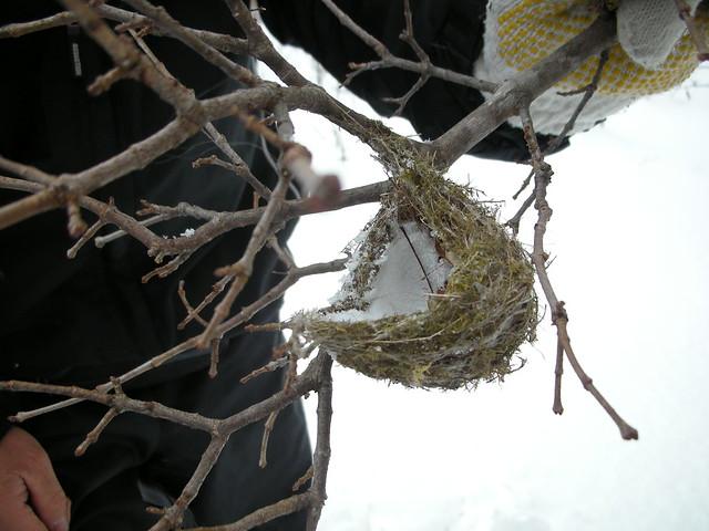 クモの糸などで上手に巣材を編み込んでいる.最近はビニール紐などが使われていることもあるというが,この巣は健全.