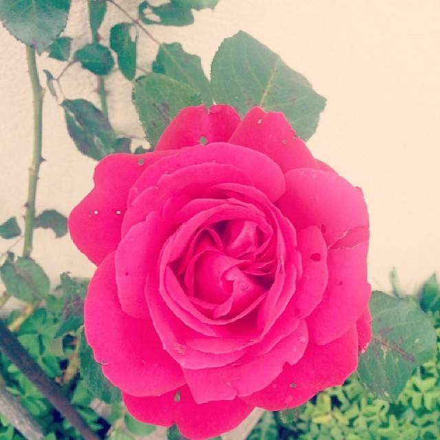 ★ J'aime les roses ★#rose #fleur #paimpol #blog #ourlittlefamily #france