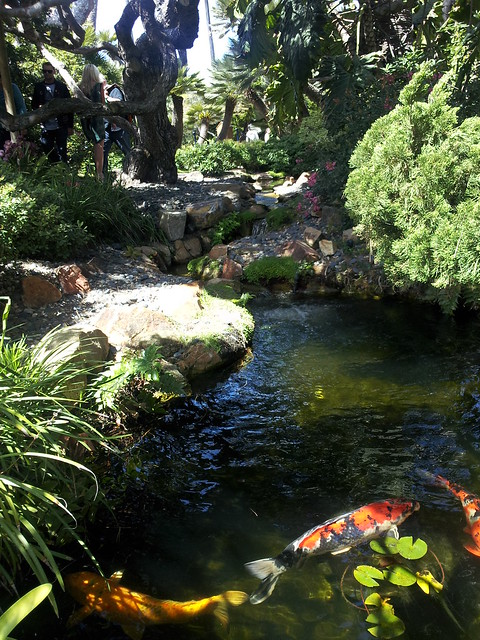koi pond definition meaning