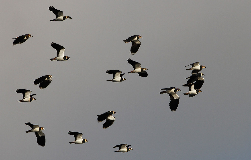 .Lapwing at Cliffe Pools.