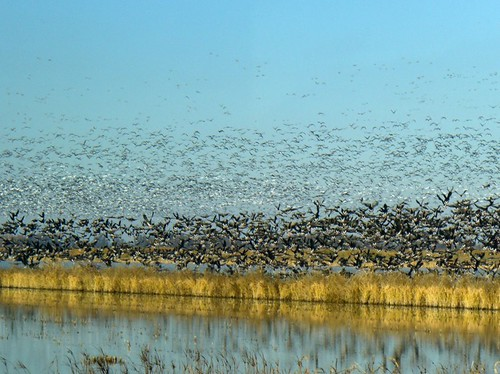 Rice fields in California provide year-round habitat for more than 200 different species of wildlife, including about 10 million migratory birds that travel the Pacific Flyway twice a year. Photo: NRCS