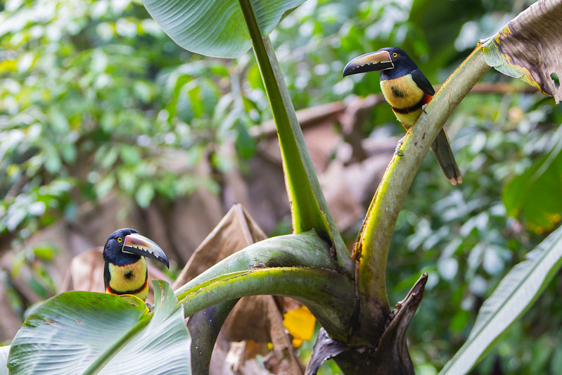 Collared Aracari - checking me out for a bit, then ripping into a plantain