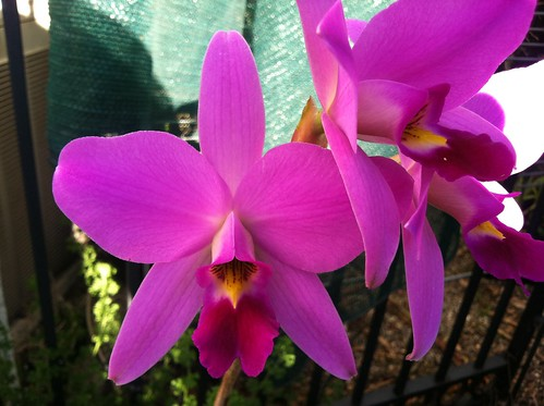Laelia ancep 'Dark Diamond' by mini-catts