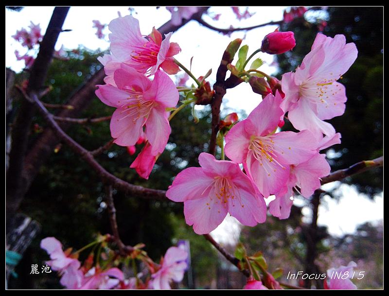 麗池櫻花初綻