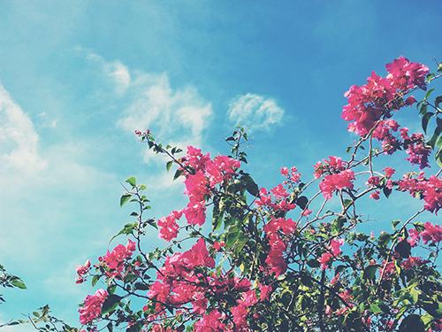 grampa's pink flower in zambales
