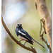 Magpie Robin at 600mm