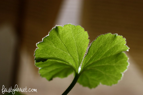 Macro_Geranium Leaf 2_FeistyHarriet_Feb2014