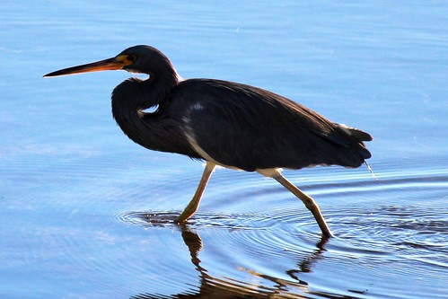 IMG_3757_Tricolored_Heron