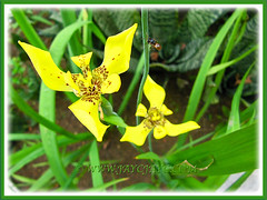 Flowers of Trimezia steyermarkii (Yellow Walking Iris, Traveling Iris), Sep 28 2013