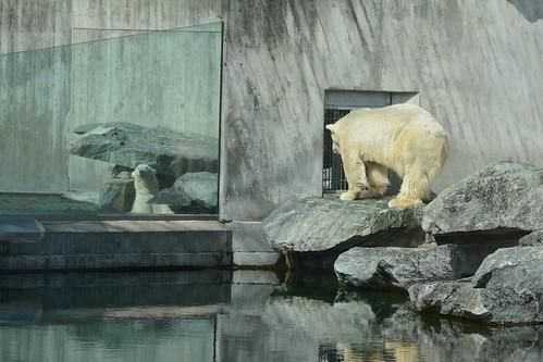 Eisbären Yoghi und Corinna in der Wilhelma Stuttgart