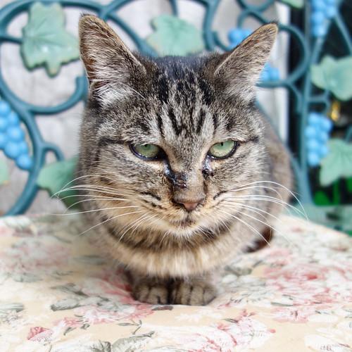 目付きが悪い猫。
