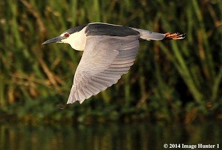 Black-crowned Night Heron - Cameron Prairie, Louisiana