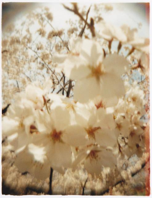 桜(魚眼風)