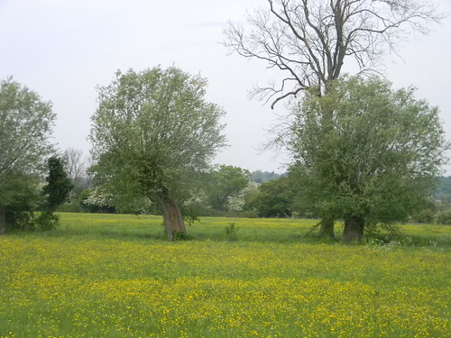 Buttercups, willow, watermeadow