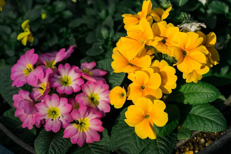 Flowers along the Motomachi Shopping Street