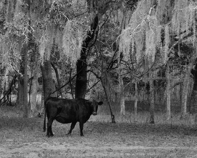 Cow Among Spanish Moss BW