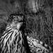 Small photo of Sagebrush Accipiter