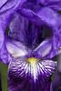 Lirio - Iris