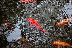 Les poissons rouges du Temple du dieu de la ville
