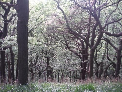Ancient Oak Wood, Ladies' Spring Wood