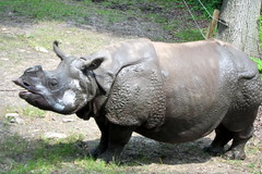 Bronx Zoo - Indian Rhinoceros