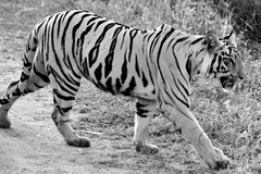 animal, tiger, mammal, monochrome photography, fauna, monochrome, black-and-white, wildlife,