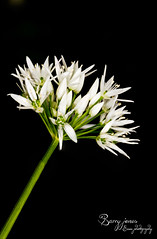 Holderwild garlic
