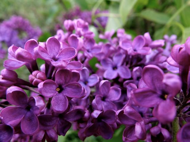 burgundy lilac