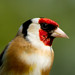 Goldfinch Portrait