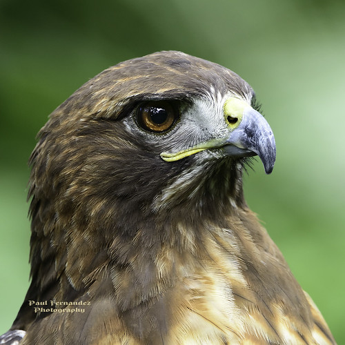 zoo florida hawk redtailed brevard redtailedhawk brevardzoo hawkredtailed