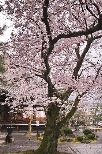 【写真】2013 桜 : 本隆寺/2020-05-19/IMGP9114