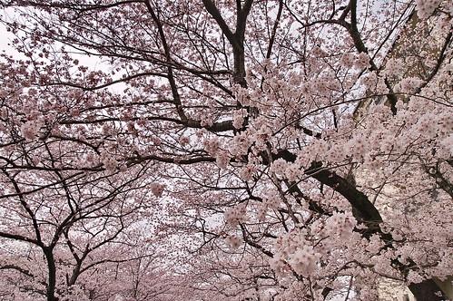 【写真】2013 桜 : 哲学の道/2018-12-24/IMGP9252