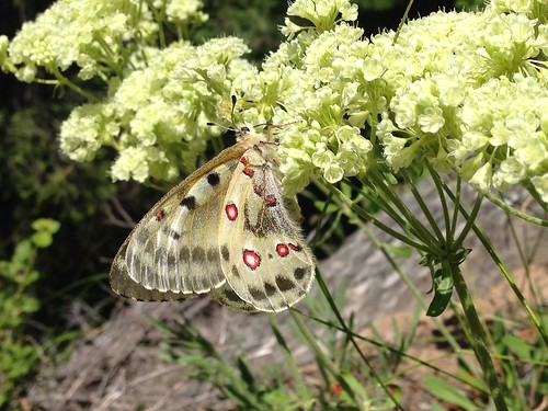 Phoebus parnassian butterfly (Parnassius phoebus)