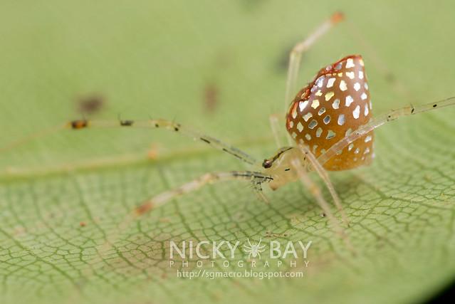 Mirror Spider (Thwaitesia sp.) - DSC_9429