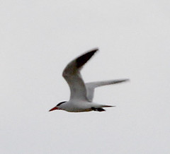 Tern at Base and Meridian Wildlife Area. 4 July 2013