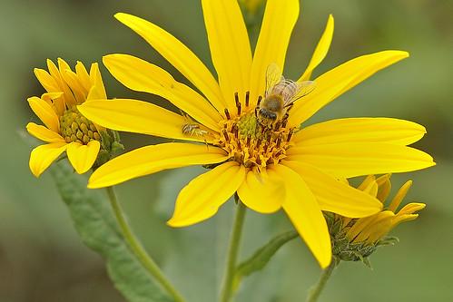 flowers yellow dof bokeh depthoffield bee honeybee