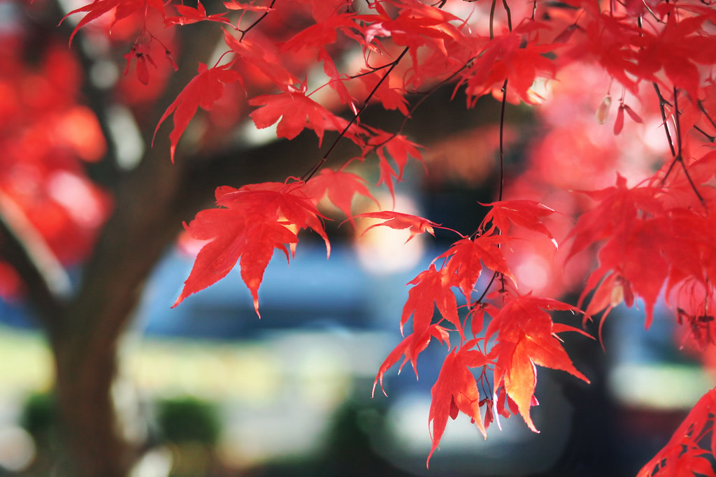 Dazzling Display of Japanese Maple