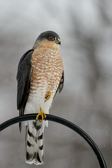 Sharp-shinned Hawk_41273.jpg by Mully410 * Images