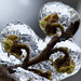 Witch hazel under ice-Toronto ice storm