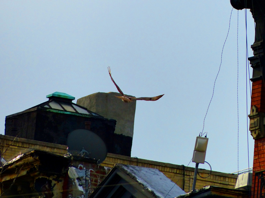 Red-tail soaring over Ave A