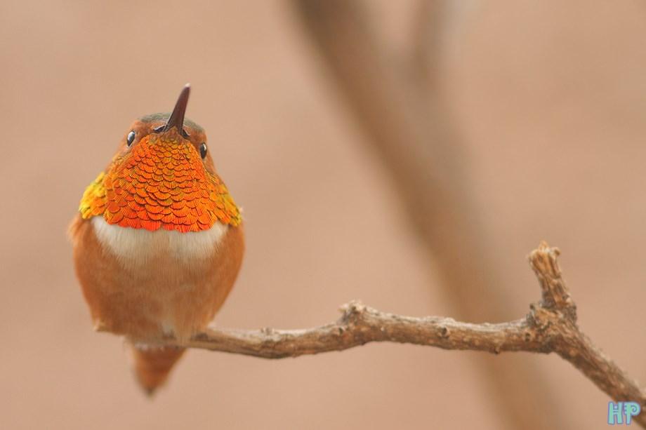Allen's Hummingbird 020314