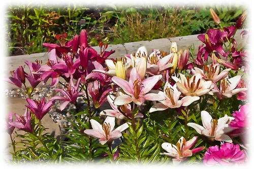 A Lily Bed - Digital Oil by Rustic Pixel
