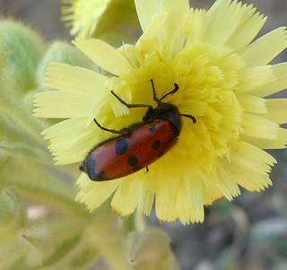 Mylabris quadripunctata. Meloidae.