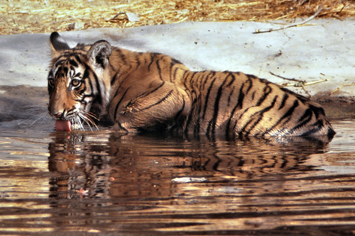 TIGER RANTHAMBORE WILDLIFE