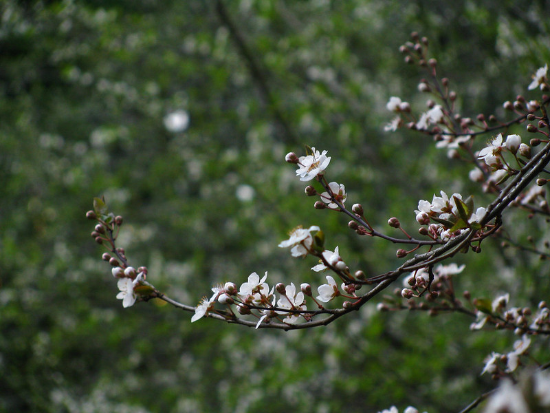 Cherry Plum Flowering
