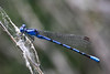 Vivid Dancer (Argia vivida) by Museumgeek