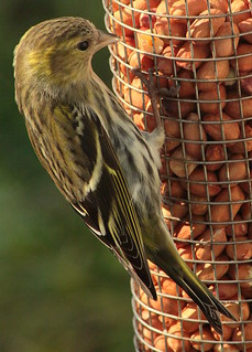 Canon EOS 60D.Canon 70-300mm Lens.Through Glass,Hen Siskin On Fresh Peanut's.March 12th 2014.