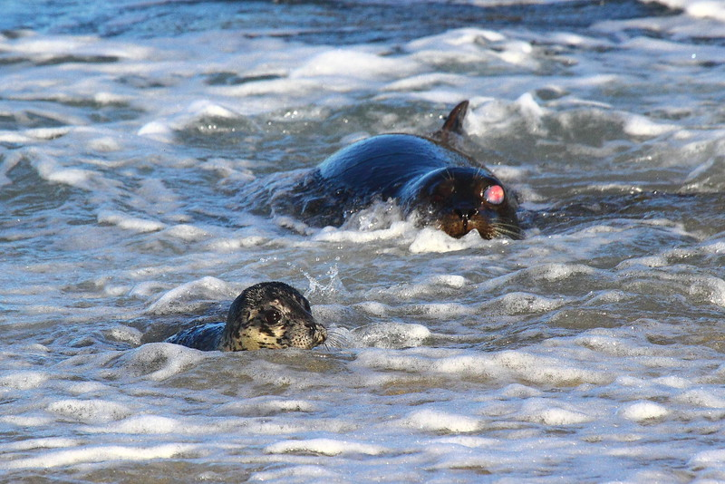 IMG_2093 Harbor Seal Mom and Pup